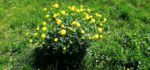 Trollblumen am Imberg