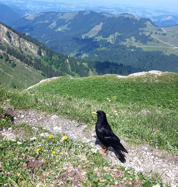 Neugierige Alpendohle auf dem Buralpkopf